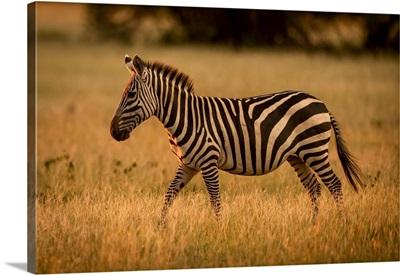 Plains Zebra Walks Rim Lit By Sunset, Serengeti National Park, Tanzania
