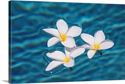 Plumeria Flowers Floating In Clear Blue Water