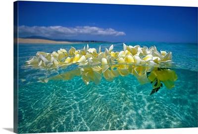 Plumeria Lei Floating On Ocean Surface
