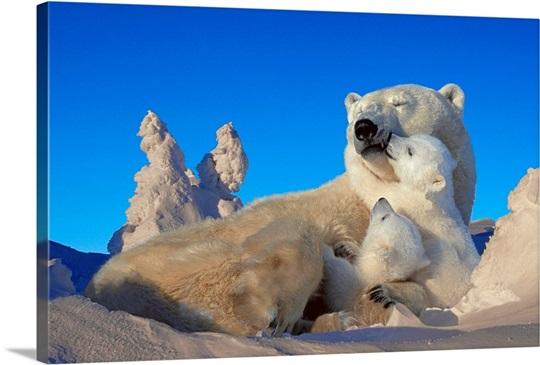 Polar Bear Sow & Cubs Resting in Snow