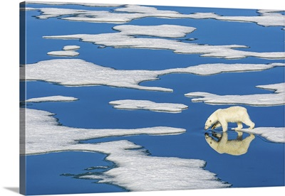 Polar Bear Walking On Melting Pack Ice With Blue Water Pools, Svalbard, Norway