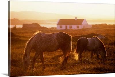 Ponies Grazing In A Field, Connemara, County Galway, Republic Of Ireland