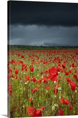 Poppies In A Field Under A Stormy Sky; Northumberland, England