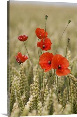 Poppies In A Grain Field