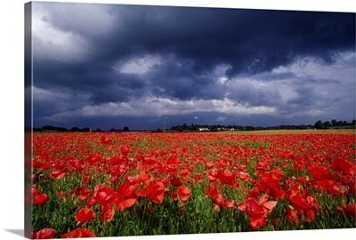 Poppy Field, County Kildare, Ireland