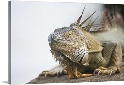 Portrait Of A Green Iguana (Iguana Iguana), Tortuguero, Costa Rica