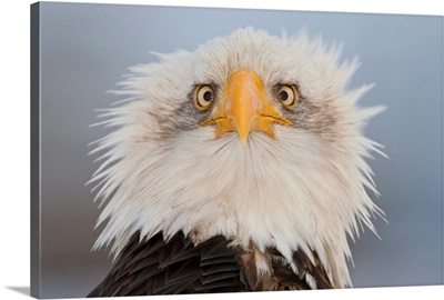 Portrait Of A Young Eagle, Homer Spit, Kenai Peninsula, Alaska