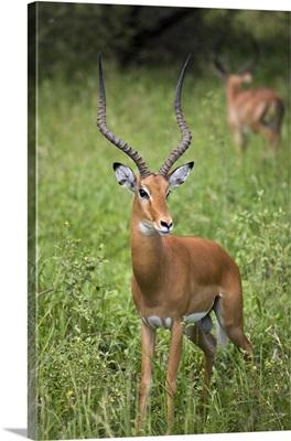 Portrait Of Impala, Serengeti National Park, United Republic Of Tanzania