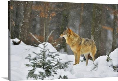 Portrait Of Wolf In Winter, Neuschonau, Bavarian Forest National Park, Bavaria, Germany