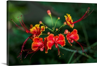 Pride of Barbados (Caesalpinia pulcherrima), Antigua, West Indies