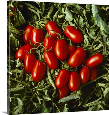 Processing tomatoes in field, San Joaquin Valley, California