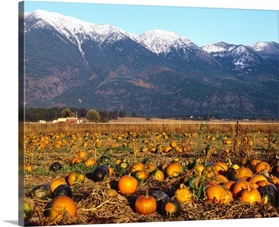 Pumpkin patch in Autumn with the Swan Mountains in background