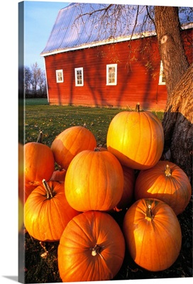 Pumpkins piled up after the Autumn harvest near a red barn, near Oakbank, Manitoba