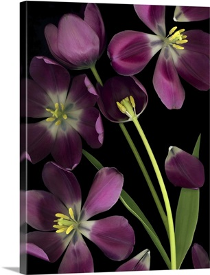Purple Tulips, Leaves And Stems