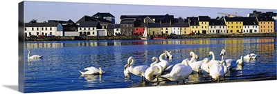 Quay With Swans, Galway City, County Galway, Ireland