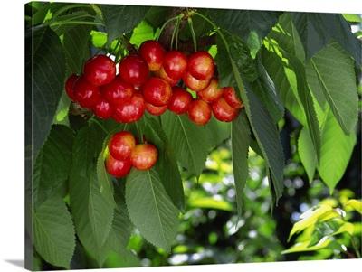 Rainier Cherries on the tree, ripe and ready for harvest, near Orondo, Washington