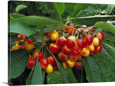 Rainier cherries on the tree, ripe and ready for harvest, Washington