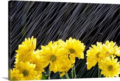 Raining On Yellow Daisies