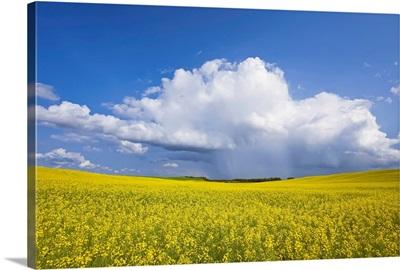 Rainstorm Over Canola Field Crop, Pembina Valley, Manitoba, Canada