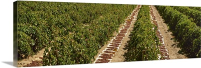 Raisin grape vineyard in late summer with harveste