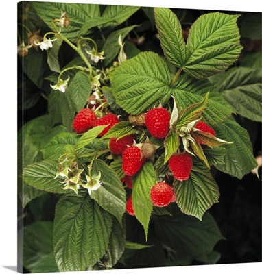 Raspberries on the bush, Watsonville, California