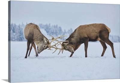 Red Deer (Cervus Elaphus) Fighting On A Snowy Meadow, Bavaria, Germany