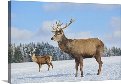 Red Deer (Cervus Elaphus) On A Snowy Meadow, Bavaria, Germany