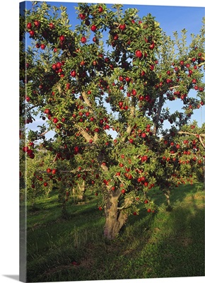 Red Delicious apple tree, with fruit ripe and ready for harvest, Malaga, Washington