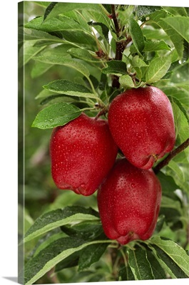 Red Delicious apples on the tree  with rain drops, ripe and ready for harvest