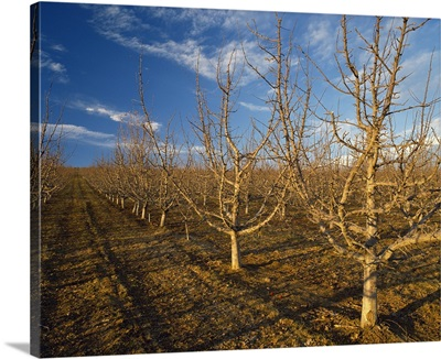 Red Delicious high density apple orchard in early Spring dormant stage