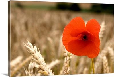 Red Flower In Field