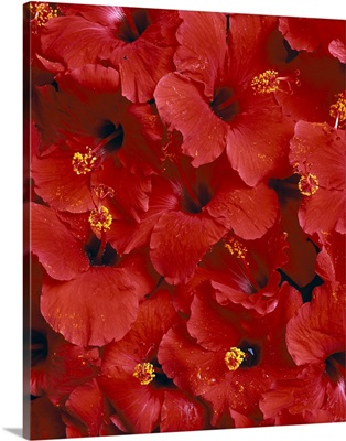 Red Hibiscus Flowers Overlapping Each Other, Studio Shot