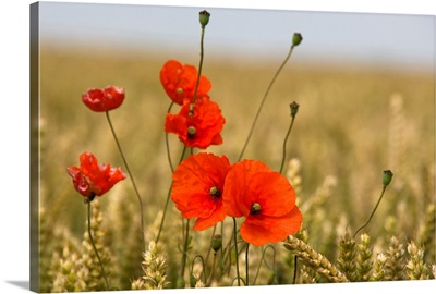 Red Poppies In A Field Of Grain