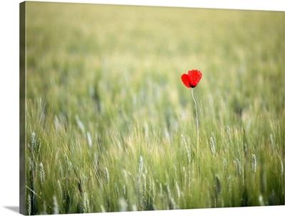 Red Poppy In Wheat Field; France