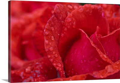 Red Rose Petals With Dew Drops; Northumberland, England