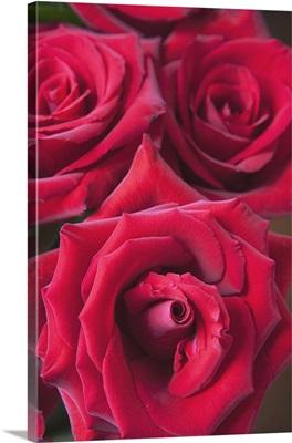 Red Roses; Quebec, Canada