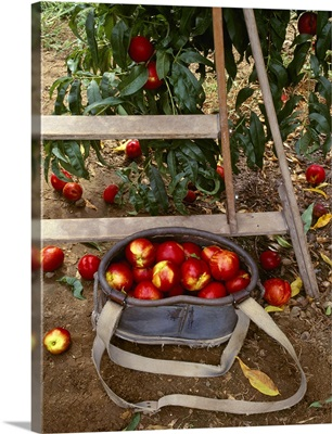 Red Supreme Nectarines in a picking bucket with tree branch and ladder nearby