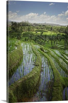 Rice Fields; Jatiluwih, Bali, Indonesia
