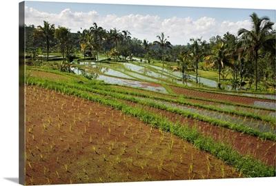 Rice Fields, Jatiluwih, Bali, Indonesia