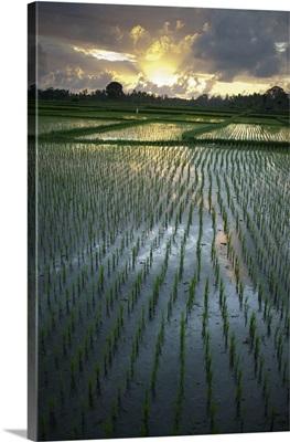 Rice Fields Near Ubud; Bali, Indonesia