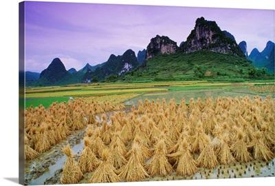 Rice, Yangshuo, Guangxi, China