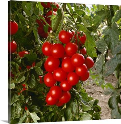 Ripe Cherry tomatoes on the vine, California