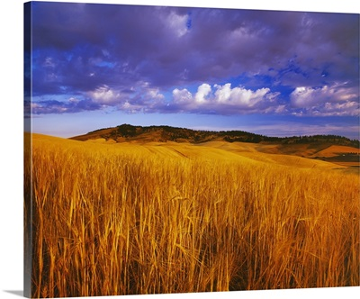 Ripe, harvest ready crop of barley at sunset with rolling fields near Kamiak Butte