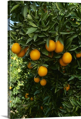 Ripe Navel oranges on the tree, ready for harvest, Tulare County, California
