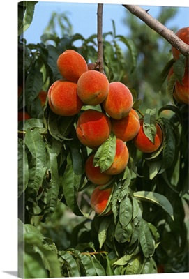 Ripe peaches on the tree, ready for harvest, Sussex County, Delaware