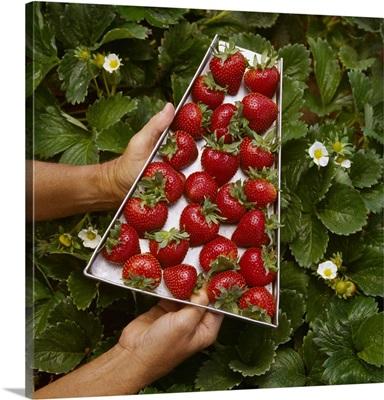 Ripe strawberries in a picker's tray, Watsonville, California