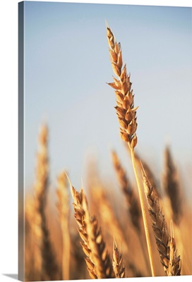 Ripe Wheat, Central Alberta, Canada