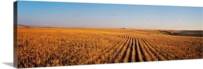 Ripe wheat field ready for harvest, Central Montana