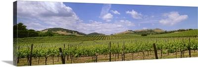 Rolling hillside wine grape vineyard showing Spring foliage growth