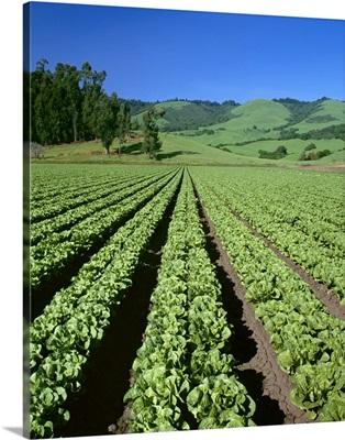 Romaine lettuce field, Salinas Valley, California